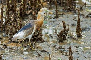 Javan_pond_Heron.jpg