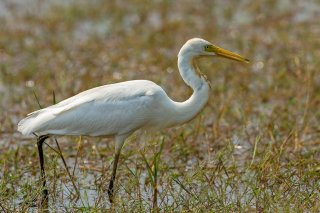 Intermediate_Egret.jpg