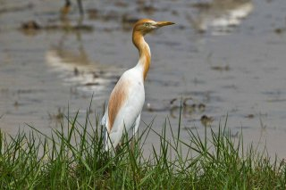 Eastern_Cattle_Egret.jpg
