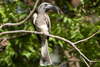 African_Grey_Hornbill.jpg