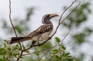 African_Grey_Hornbill_f.jpg
