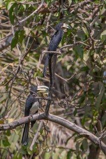 African_Pied_Hornbill.jpg