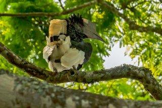 Black-and-white-casqued_Hornbill.jpg
