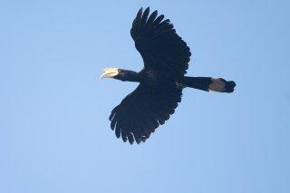 Black_Hornbill.jpg