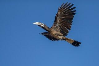 Bushy-crested_Hornbill.jpg