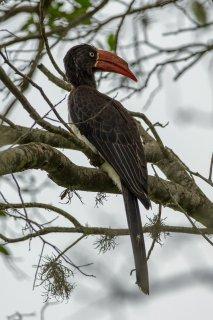 Crowned_Hornbill.jpg