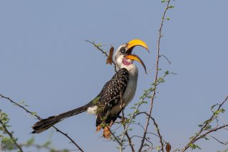 Eastern_Yellow-billed_Hornbill.jpg