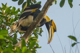Great_Hornbill.jpg