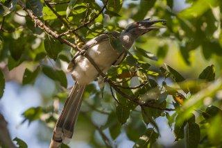 Indian_Grey_Hornbill.jpg