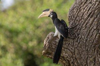 Malabar_Pied_Hornbill.jpg