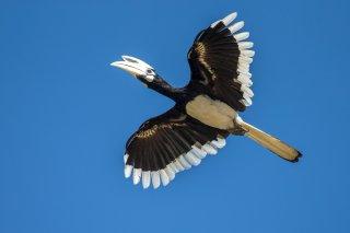 Oriental_Pied_Hornbill.jpg