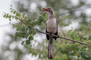 Southern_Red-billed_Hornbill.jpg