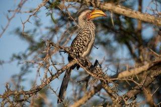 Southern_Yellow-billed_Hornbill.jpg