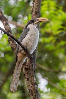 Sri_Lanka_Grey_Hornbill.jpg