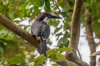 Sri_Lanka_Grey_Hornbill_f.jpg