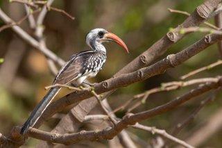 Western_Red-billed_Hornbill.jpg