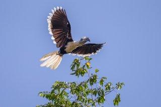 White-crowned_Hornbill.jpg