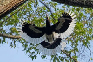 White-thighed_Hornbill.jpg