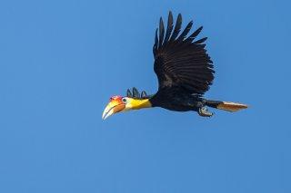 Wrinkled_Hornbill.jpg