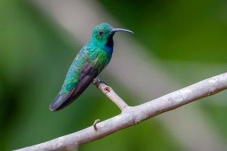 Green-breasted_Mango_male.jpg