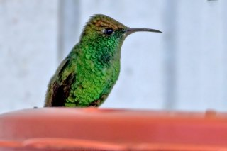 Coppery-headed_Emerald.jpg