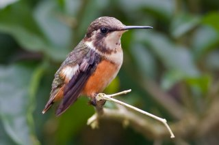 Purple-throated_Woodstar_female.jpg