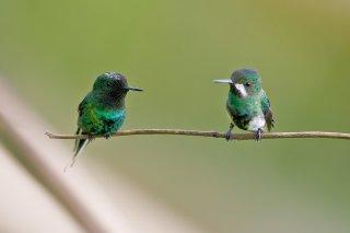 Green_Thorntail.jpg