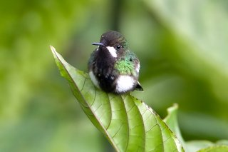 Green_Thorntail_female.jpg