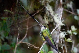 Sword-billed_Hummingbird_female.jpg