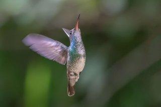 Golden-tailed_Sapphire_female.jpg