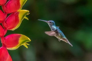 White-necked_Jacobin_female.jpg