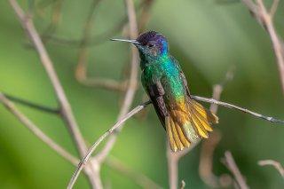 Golden-tailed_Sapphire_male.jpg