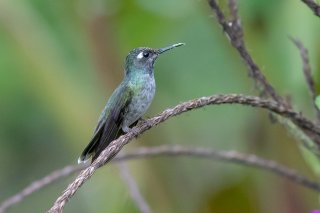 Violet-headed_Hummingbird_female.jpg