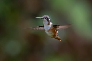 White-bellied_Woodstar_female.jpg