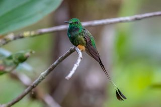 Peruvian_Booted_Racket-tail.jpg
