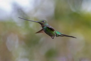 Sword-billed_Hummingbird_male.jpg