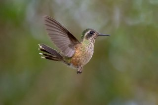 Speckled_Hummingbird.jpg