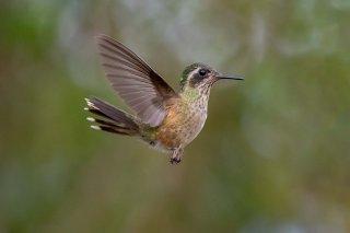 Speckled_Hummingbird.jpg