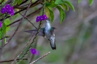White-bellied_Hummingbird.jpg