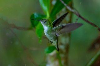 Andean_Emerald_female.jpg