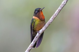 Orange-throated_Sunangel.jpg