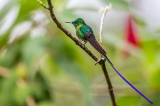 Long-tailed_Sylph.jpg