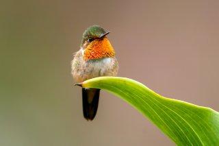 Scintillant_Hummingbird.jpg