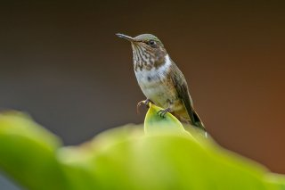 Volcano_Hummingbird_female.jpg