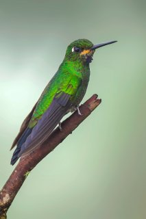 Black-throated_Brilliant.jpg