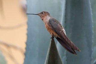 Giant_Hummingbird.jpg