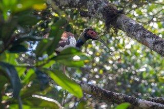 Madagascar_Ibis.jpg