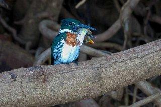 Amazon Kingfisher (male)