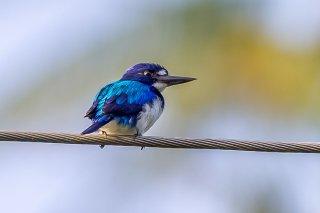 Blue and White Kingfisher (female)
