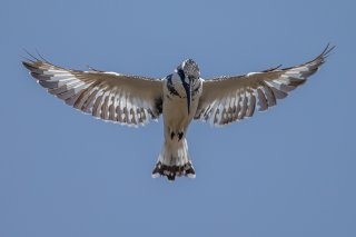 Pied_Kingfisher.jpg